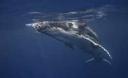 Opinión subacuática un becerro de la ballena jorobada fotos de archivo