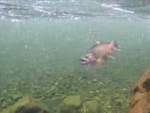 Opinión subacuática una trucha marrón enganchada en un río claro de Nueva Zelanda foto de archivo