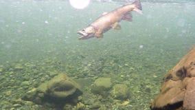 Opinión subacuática una trucha marrón enganchada en un río de Nueva Zelanda metrajes