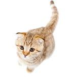 Opinión superior aislada doblez escocés del gatito Foto de archivo libre de regalías