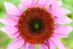 Opinión superior de la flor del Echinacea Fotografía de archivo libre de regalías