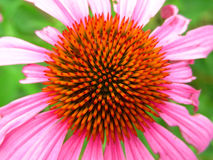 Opinión superior de la flor púrpura vibrante del cono Imagen de archivo