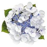 Opinión superior de Lacecap de la flor azul de la hortensia aislada en blanco Fotos de archivo libres de regalías