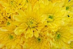Opinión superior de los crisantemos amarillos coloridos, fondo inconsútil natural Fotos de archivo libres de regalías