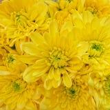 Opinión superior de los crisantemos amarillos coloridos, fondo inconsútil natural Imagen de archivo