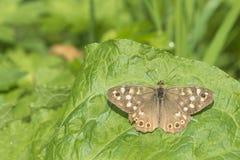Opinión superior de Pararge de la mariposa de madera manchada del aegeria Fotografía de archivo