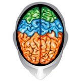 Opinión superior del cerebro humano ilustración del vector