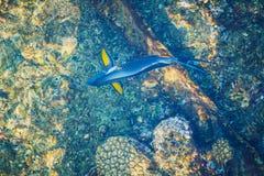 Opinión superior del pez papagayo azul Fotografía de archivo libre de regalías