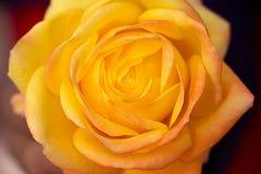 Opinión superior del primer color de rosa amarillo fotos de archivo