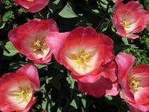 Opinión superior del primer rosado oscuro de los tulipanes Foto de archivo libre de regalías