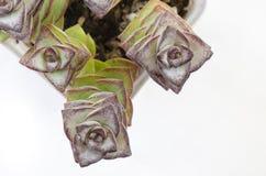 Opinión superior el Crassula Perforata, plantas suculentas fotografía de archivo libre de regalías