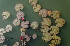 Opinión superior el lirio de agua rosado en la charca Fotografía de archivo libre de regalías
