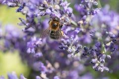 Opinión superior la abeja en la flor de la lavanda Fotografía de archivo libre de regalías