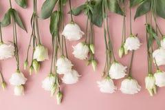 Opinión superior las rosas florecientes del blanco colocadas en backgroun del rosa en colores pastel Fotos de archivo