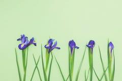 Opinión superior narcisos azules brillantes en fondo verde claro con el espacio de la copia Foto de archivo libre de regalías