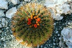 Opinión superior sobre el cactus floreciente Foto de archivo