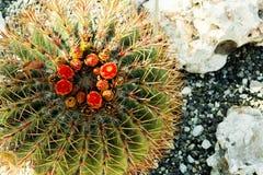 Opinión superior sobre el cactus floreciente Cierre para arriba Imágenes de archivo libres de regalías