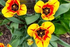 Opinión superior tulipanes amarillos y rojos Imagenes de archivo