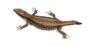 Opinión superior un lagarto de la pared con su corte de la cola Fotos de archivo libres de regalías