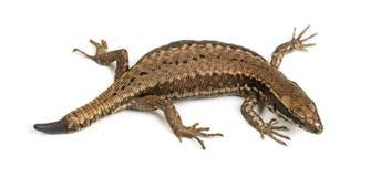 Opinión superior un lagarto de la pared con su corte de la cola Imagen de archivo