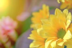 Opinión superior y foco selectivo en el flawer amarillo de chrys hermosos Foto de archivo