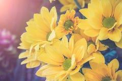 Opinión superior y foco selectivo en el flawer amarillo de chrys hermosos Fotos de archivo libres de regalías