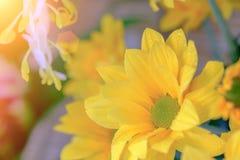 Opinión superior y foco selectivo en el flawer amarillo de chrys hermosos Imagen de archivo