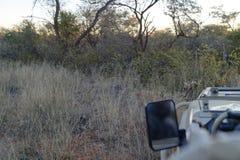 Opinión típica el leopardo africano reservado y evasivo del vehículo del safari en la reserva de naturaleza de Okonjima, Namibia imágenes de archivo libres de regalías