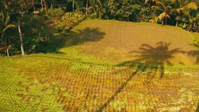Opinión trasera aérea la mujer en el balanceo sobre fondo hermoso de los campos del arroz almacen de metraje de vídeo