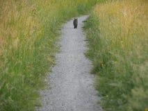 Opinión trasera el gato que camina abajo del camino de la grava Fotografía de archivo