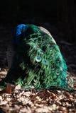 Opinión trasera hermosa el pavo real en luz del sol al aire libre Foto de archivo