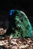 Opinión trasera hermosa el pavo real en luz del sol al aire libre Foto de archivo libre de regalías