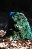 Opinión trasera hermosa el pavo real en luz del sol al aire libre Imagen de archivo libre de regalías