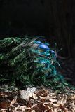 Opinión trasera hermosa el pavo real en luz del sol al aire libre Imagenes de archivo