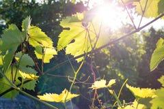 Opinión trasera sobre las hojas detalladas hermosas de la uva, con el sol en Foto de archivo libre de regalías