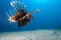 Opinión trasera un lionfish común (millas del Pterois) Foto de archivo