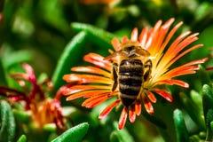 Opinión trasera una abeja en la floración roja y amarilla Fotografía de archivo libre de regalías