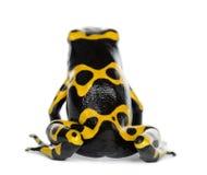 Opinión trasera una rana Amarillo-Congregada del dardo del veneno Imagen de archivo libre de regalías