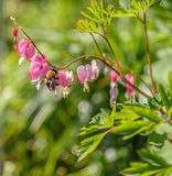 Opinión un abejorro grande en una rama de una planta rosada del corazón sangrante Imagen de archivo