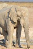 Opinión un elefante cubierto en el fango blanco Foto de archivo libre de regalías