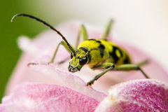 Opinión una avispa que descansa sobre la flor rosada Primer Imagen de archivo