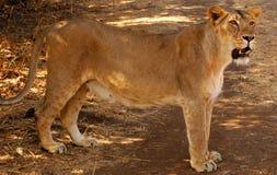 Opinión una leona Imagenes de archivo
