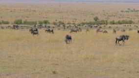 Opinión una manada enorme del ñu que pasta en la reserva Maasai Mara de la sabana almacen de metraje de vídeo