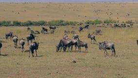 Opinión una manada enorme del ñu que pasta en la reserva Maasai Mara de la sabana metrajes