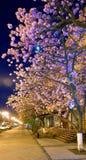 Opinión urbana de la noche con el flor de cereza japonés Fotos de archivo