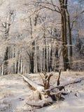 Opinión ventosa de la mañana del invierno al bosque de la haya Fotografía de archivo