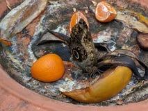 Opinión ventral de la mariposa del búho Foto de archivo libre de regalías