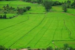 Opinión verde 2 del pájaro del arroz Imagen de archivo libre de regalías