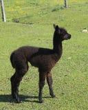 Opinión vertical del perfil de la alpaca patilarga del bebé con la situación marrón oscura de la capa en recinto cercado fotos de archivo