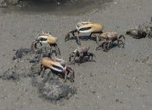 Opiniónes alrededor de Boca Sami - cangrejos imagen de archivo libre de regalías
